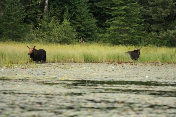 bwca cow and bull moose